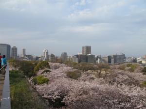 舞鶴公園桜